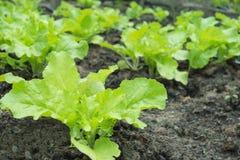 Nahaufnahme des frischen Salatgemüses im Gemüsegarten Lizenzfreies Stockfoto