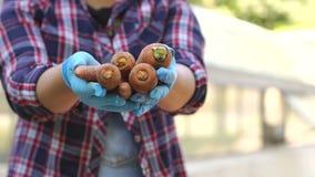 Nahaufnahme des Gärtnermädchens in den blauen Handschuhen, in seiner Hand frisch-gegrabene Karotten halten stock video