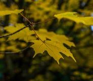 Nahaufnahme des gelben Ahornbaumblattes im Herbst/im Fall stockfotos