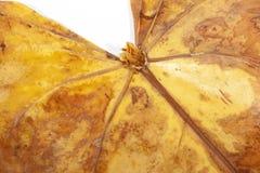 Nahaufnahme des Gelbs und der Brown-Farben trockenen Anthirium-Blattes Stockbild