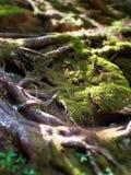 Nahaufnahme des gescheckten Sonnenlichts auf Moos- und Baumwurzeln lizenzfreies stockfoto