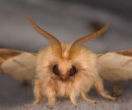 Nahaufnahme des Gesichtes einer Motte stockbild
