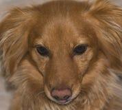 Nahaufnahme des Gesichtes eines kleinen roten Hundes lizenzfreie stockfotos