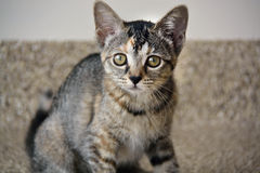 Nahaufnahme des gestreiften inländischen kurzen Haares Kitten Looking an der Kamera Lizenzfreie Stockfotografie