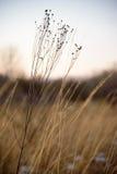 Nahaufnahme des getrockneten Wildflower auf dem Gebiet des Graslandgrases lizenzfreie stockfotografie