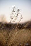 Nahaufnahme des getrockneten Wildflower und des Graslandgrases bei Sonnenuntergang stockbilder