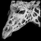 Nahaufnahme des Giraffe-Kopfes stockbilder