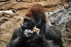 Nahaufnahme des Gorillas Stockfotos