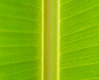 Nahaufnahme des grünen Bananenblattstiels und -ader (INDISCHE SARDELLE oder S Lizenzfreies Stockbild