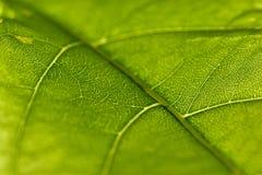 Nahaufnahme des grünen Blattes Stockfotografie