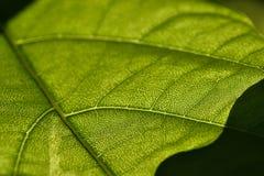 Nahaufnahme des grünen Blattes Lizenzfreies Stockfoto