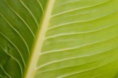 Nahaufnahme des grünen Blattes adert Beschaffenheit Stockbilder