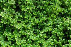 Nahaufnahme des grünen Busches, Beschaffenheitshintergrund Lizenzfreie Stockbilder
