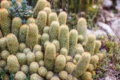 Nahaufnahme des grünen frischen Kaktus lizenzfreies stockbild