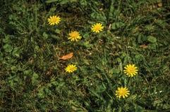 Nahaufnahme des grünen grasartigen Rasens mit hellen gelben Blumen an einem sonnigen Tag bei Begijnhof in Amsterdam stockfotografie