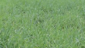 Nahaufnahme des grünen Grases stock footage