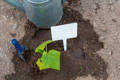 Nahaufnahme des grünen Gurkensämlings Gartenarbeits-Konzepthintergrund Beschneidungspfad eingeschlossen stockfotos