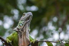 Nahaufnahme des grünen Leguankopfes Stockfoto