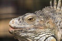 Nahaufnahme des grünen Leguans die glänzenden gelben Augenfarben zeigend Stockbilder
