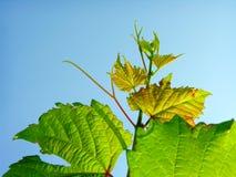 Nahaufnahme des grünen Weinstocks Lizenzfreie Stockbilder