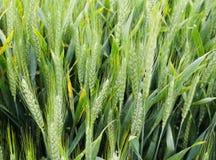 Nahaufnahme des grünen Weizenfeldes lizenzfreie stockbilder