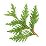 Nahaufnahme des grünen Zweigs von Thuja die Zypressengewächse auf Weiß Lizenzfreie Stockfotografie