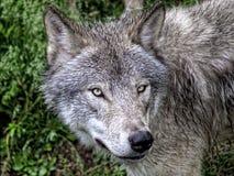 Nahaufnahme des grauen Wolfs Stockfotos
