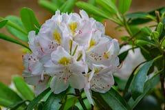 Nahaufnahme des großen Rhododendrons lizenzfreie stockbilder