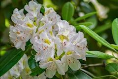 Nahaufnahme des großen Rhododendrons stockfoto
