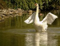 Nahaufnahme des Höckerschwans auf dem grünen Wasser von einem See, großer Wasservogel mit Flügeln verbreitete heraus, wildes Tier Stockfotografie