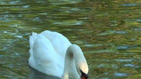 Nahaufnahme des Höckerschwans Schwanschwimmen in einem Teich stock footage