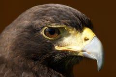 Nahaufnahme des Harris-Falkekopfes im Sonnenschein Stockbild