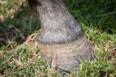 Nahaufnahme des Hufs eines Pferds Stockbild
