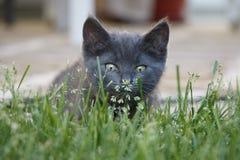 Nahaufnahme des inländischen kurzen Haares Gray Kitten in der Gras-Schnüffelnblume Lizenzfreies Stockfoto