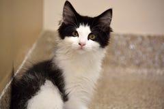 Nahaufnahme des inländischen langen Schwarzweiss-Haares Kitten Looking an der Kamera Lizenzfreie Stockbilder