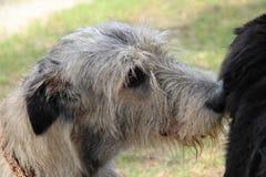 Nahaufnahme des irischen Wolfshunds Hunde Lizenzfreie Stockfotos