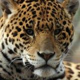 Nahaufnahme des Jaguars Stockfotografie