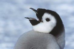 Nahaufnahme des jugendlichen Kaiser-Pinguins mit dem offenen Schnabel Lizenzfreies Stockfoto
