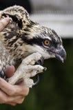 Nahaufnahme des jugendlichen Osprey angehalten vor Streifenbildung stockbild
