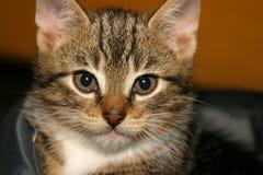 Nahaufnahme des jungen Kätzchens Stockbilder