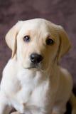 Nahaufnahme des jungen Labrador-Welpen Lizenzfreies Stockbild
