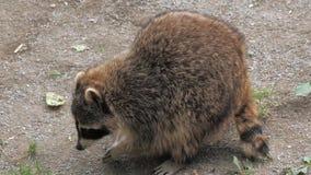 Nahaufnahme des jungen Waschbären suchend nach Lebensmittel im Garten stock video footage