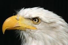Nahaufnahme des kahlen Adlers Stockfotografie