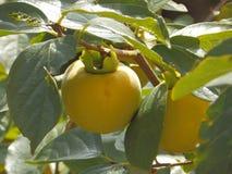 Nahaufnahme des KakipflaumenbaumObstbaumes, Dattelpflaume Lizenzfreie Stockfotografie