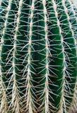 Nahaufnahme des Kaktus Lizenzfreie Stockbilder