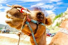 Nahaufnahme des Kamels, Mongolei