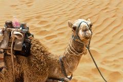 Nahaufnahme des Kamels in Sahara Desert, Tunesien stockbild