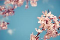 Nahaufnahme des Kirschbaums (Prunus sargentii) blüht im Frühjahr Stockfotografie