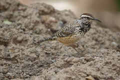 Nahaufnahme des kleinen beschmutzten Brown-Wüsten-Vogels Lizenzfreie Stockfotos