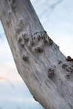 Nahaufnahme des knotigen grauen toten Baumstammes lizenzfreie stockbilder